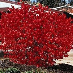Dwarf Burning Bush...always wanted one of these