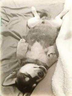 Henri the Alaskan Klee Kai fast asleep! Alaskan Klee Kai, Heart Melting, Pets, Animals, Animais, Animales, Animaux, Animal