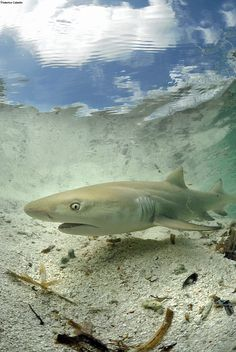 The lemon shark stare-down  Credit: Federico Cabello  Sharks are highly susceptible to overfishing because they are long-lived, reproduce infrequently and have few offspring when they do. Scientists estimate that up to 73 million are killed annually for their fins, primarily due to increased demand for shark fin soup, particular in China and southeast Asia.