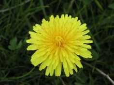 Dandelion Recipes for greens and flowers. Dandelion Fritters are yummy and they are cheap (as in free in most lawns) and packed with nutrition. Dandelion Recipes, Edible Wild Plants, Invasive Plants, Healthy Herbs, Healthy Tips, Dandelion Flower, Wild Edibles, Edible Flowers, Medicinal Plants