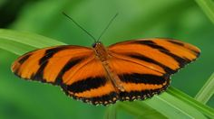 Banded Orange Tiger Butterfly (Heliconian)