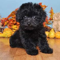 Poodle breed Info - JustPuppies.net