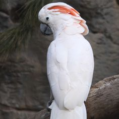 Pink Umbrella Cockatoo | The Salmon-crested or Moluccan Cockatoo, as its name indicates, has a ...