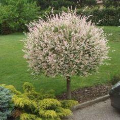 Salix integra 'Hakuro Nishiki' shrub in tree/standard form. Grafted.