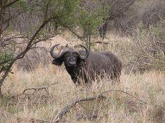 Krugerpark: African Buffalo