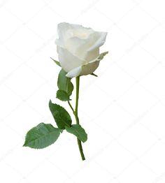 depositphotos_28350181-stock-photo-a-single-white-rose-isolated.jpg (921×1023)
