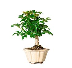 Have you been interested in bonsai trees but are not sure where to begin or what tree to buy? Look no further than the Dwarf Hawaiian Umbrella! This is classic favorite that has bright green, shiny, compact leaves that thrive in low light environments, making it the perfect accent to an office or home. It is one of the easiest bonsai trees to maintain and can provide problem-free beauty for years to come in your home décor or office decor