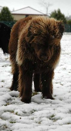 Newfoundland no it isn't a bear, it's a puppy. But I'll name him bear :)