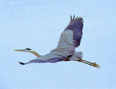 Blue Heron in flight original photograph by WHITEBUFFALOVISIONS,