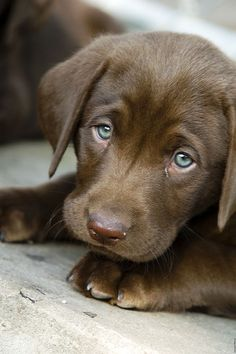 Mind Blowing Facts About Labrador Retrievers And Ideas. Amazing Facts About Labrador Retrievers And Ideas. Beautiful Dogs, Animals Beautiful, Chocolate Lab Puppies, Chocolate Labs, Chocolate Labradors, Best Dog Toys, Cute Dogs And Puppies, Doggies, Beagle Puppies