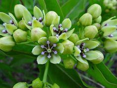 Asclepias viridis (Green Antelope-Horn Milkweed). Host for Monarchs, Unexpected Cycnias, Milkweed Tussocks, etc.