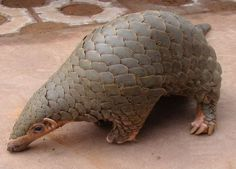 Do you know what a pangolin is? Term for a baby panda, perhaps? A tropical fruit grown in Indonesia, was another oddly specific response. Pangolin Pictures, Chinese Pangolin, Save The Elephants, Animal Kingdom, Baby Animals, Turtle, China, Extinct, Campaign