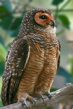 "Spotted Wood Owl.  ""Owls"""