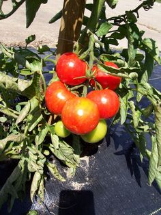 Tomato Sub Arctic Plenty Great Heirloom Garden Vegetable BULK 1,500 Seeds