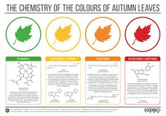 compoundchem: It's the first day of autumn in the northern hemisphere; brush up on your autumn colour chemistry with this graphic!