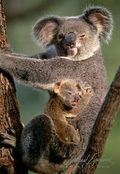 Koala ((Phascolarctos cinereus) mother and newborn baby in Australia. Captive Animal