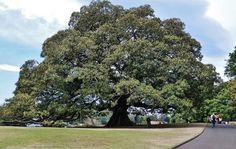 Ficus macrophylla is widely used as a feature tree in public parks and gardens in warmer climates such as California, Portugal, Italy (Sicily, Sardinia and Liguria), northern New Zealand (Auckland), and Australia. Old specimens can reach tremendous sizes. Its aggressive root system allows its use in only the largest private gardens.