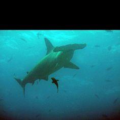 Hammerhead shark near Darwin's Arch, Galapagos islands, December 2011