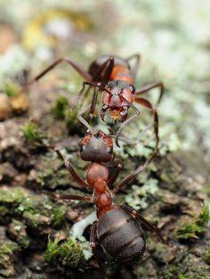 ˚Wood Ants (Formica rufa)