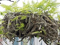 Aerial fern./this looks like what we call rabbit foot fern...have one that was from my grandmother