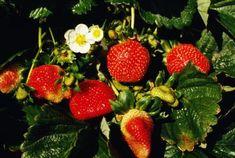 Cuánto tiempo después de que siembras las fresas ves el fruto | eHow en Español