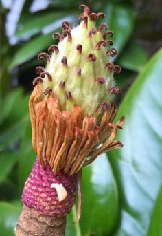 Evergreen magnolia seedpod -  great colours and texture