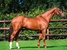 The Sport Horse Show and Breed Database - Belgian Warmblood stallion London