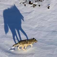 Photo by @argonautphoto (Aaron Huey). The long shadow of a #wolf from the #NenanaRiver pack in #DenaliNationalPark Alaska.  Shot on assignment for an upcoming story on the Park in @natgeo magazine.  More Denali wolf photos can be found at @argonautphoto. by natgeo