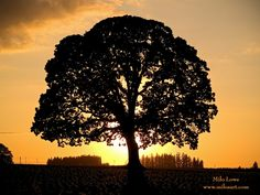 Sunset in Oregon and an old oak tree