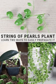 Verde Learn how to propagate string of pearls. Propagating string of pearls, or Senecio rowleyanus, Propagating Succulents, Succulent Gardening, Cacti And Succulents, Planting Succulents, Garden Plants, Planting Flowers, Indoor Gardening, Succulent Cuttings, Plant Propagation
