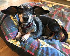 Hector is all ears... #wingspan #ears #dachshund #sausagedog #dachshundsofinstagram #sausagedogsofinstagram #sausagedoghotel