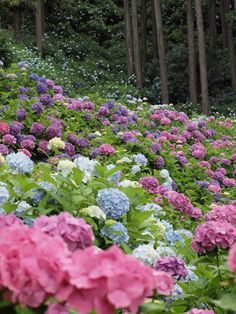 The color of Hydrangeas are determined by two factors: the amount of light it receives and the pH of the soil. Though they tolerate full sun, they prefer and will thrive in partially shady conditions. The blue flowers are produced by a highly acidic soil; the pink are produced by a neutral or only slightly acidic soil. Considering these plants are so close together, there must be a blend of fertilizers in the soil to grow such a variety of colors.