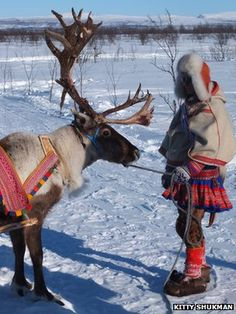 Reindeer play a central role in the Sami life.