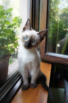 Siamese Cat Gallery - Cat's Nine Lives Siamese Kittens, Kittens Cutest, Cats And Kittens, Black Siamese Cat, Funny Kittens, White Kittens, Kitty Cats, Animal Original, Cool Cats