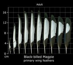 Black-billed Magpie feathers