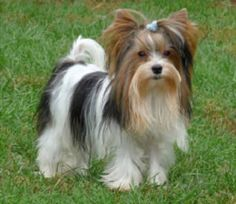 Biewer Yorkshire, Yorkshire Terrier Dog, Puppies Tips, Cute Puppies, Yorky, Dog Salon, Terrier Dog Breeds, French Bulldog Puppies, Dog Rules