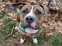 SAFE --- TO BE DESTROYED - 12/09/14 Manhattan Center   HAZEL - A1021893   FEMALE, BROWN / WHITE, PIT BULL MIX, 2 yrs OWNER SUR - EVALUATE, NO HOLD Reason NO TIME  Intake condition UNSPECIFIE Intake Date 11/29/2014, From NY 10467, DueOut Date 12/02/2014,  https://www.facebook.com/photo.php?fbid=915773471768866