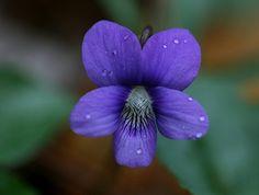Wild violet • jupitersnest