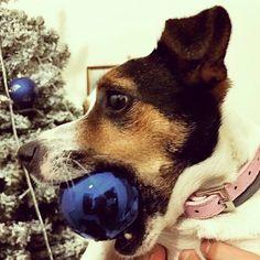 Om nom  Foto di: @pablita_  #BauSocial  #Natale #pallina #sua #nonsitocca #nondirloamamma #solosua #jackrussell #kira #amoremio #cane #photooftheday #bausocial #instalike #instagram #dog #christmas #balls #love #instadog #dogstagram