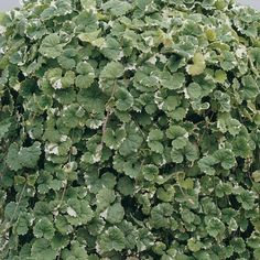 Glechoma Hederacea Variegata - trailing, hardy, possibly evergreen? Ground Covering, Foliage Plants, Front Yard Landscaping, Hanging Baskets, Green Leaves, Blue Flowers, Evergreen, Garden Plants, Bulbs