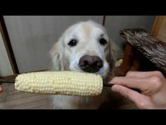Coco-chan is Japanese golden retriever  | Her human gives her fruits and veggies | Eating corn on the cob. Too cute
