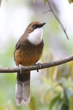 White-Throated Laughingthrush, Myron Tay