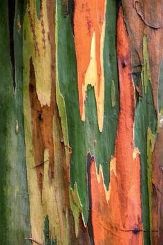 Rainbow Eucalyptus Tree (Eucalyptus deglupta) ~ The unusual coloring is caused by patches of bark shedding at different times. Patterns In Nature, Textures Patterns, Rainbow Eucalyptus Tree, Fractal, Tree Bark, Tree Tree, Amazing Nature, Artsy, Maui Hawaii