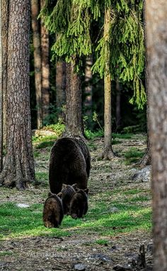 Sow bear going into woods with Cubs Nature Animals, Animals And Pets, Baby Animals, Cute Animals, Beautiful Creatures, Animals Beautiful, Love Bear, Tier Fotos, Mundo Animal