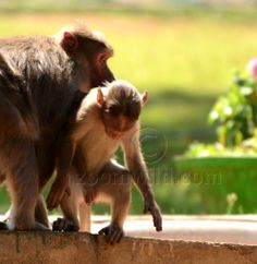 A mom and a baby monkey, wandering around....