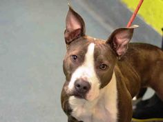 GONE - 01/05/15 Brooklyn Center . My name is BUTTERCUP. My Animal ID # is A1024366.I am a female gray and white am pit bull ter mix. The shelter thinks I am about 9 MONTHS old. For more information on adopting from the NYC AC&C, or to  find a rescue to assist, please read the following: http://urgentpetsondeathrow.org/must-read/