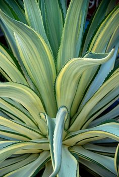 Agave desmetiana variegata
