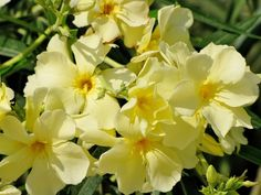 Nerium Oleander Yellow Tropical Landscaping, Landscaping Plants, Garden Plants, Oleander Plants, Bushes And Shrubs, Identify Plant, Nerium, Evergreen Shrubs, Small Trees