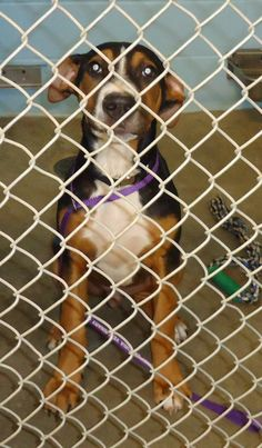 14-0005 is an #adoptable Doberman Pinscher mix #puppy at the City of Emporia Animal Shelter in #Emporia, #Kansas ---- If interested in adopting a pet you will need to fill out a request to adopt. This needs to be on file overnight before you are able to adopt. The adoption fee is $20 and there is a deposit required on any animal that is not spayed/neutered. Your...