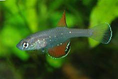 Simpsonichthys semiocellatus - juvenile male